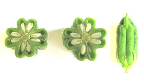鍋島小紋に描かれているごまの鞘の断面図